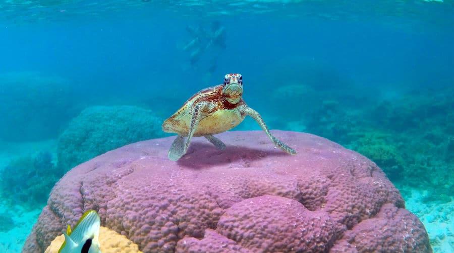 Amedee Island Sea Turtle